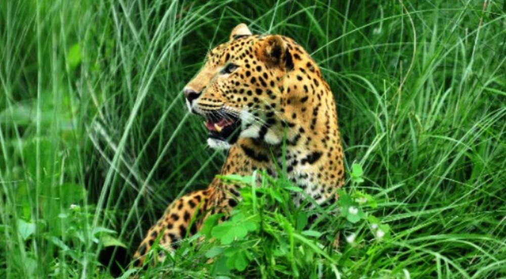 पाल्पाको माथागढीमा वन्यजन्तुको तथ्याङ्क संकलन : दश चितुवा भेटिए