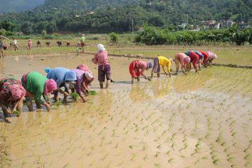 आज धान दिवस : पाल्पामा ४० प्रतिशत धान रोपाई